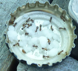 Ants feasting on powdered sugar mixed with borax
